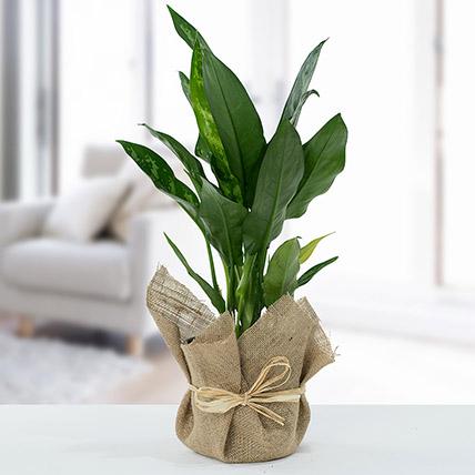 Jute Wrapped Aglaonema Plant: Indoor Plants