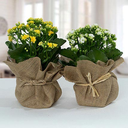 Jute Wrapped Dual Potted Plants: