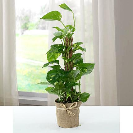 Jute Wrapped Epipremnum Aureum Plant: Plants