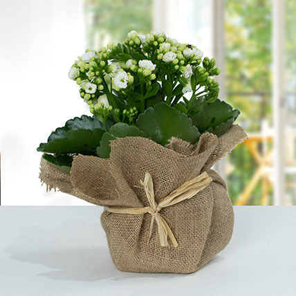 Jute Wrapped White Kalanchoe Plant: