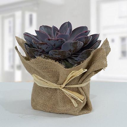 Purple Echeveria Jute Wrapped Plant:  Plants Delivery in Saudi Arabia