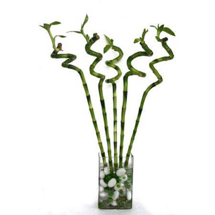Spiral Bamboo: Plants