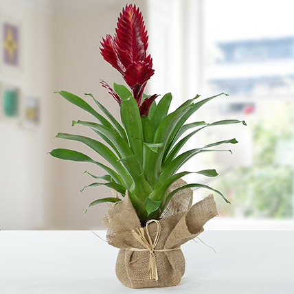 Vriesea Christiane Jute Wrapped Potted Plant: