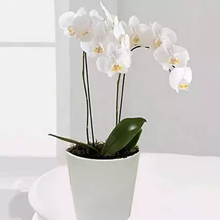 White Phalaenopsis Orchid Plant: Mother's Day Gifts
