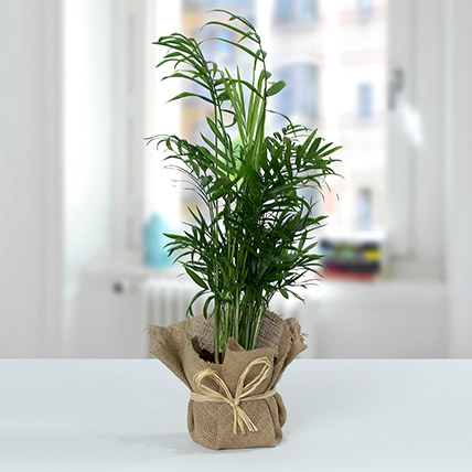 Chamaedorea In Jute Wrapped Plant: Air Purifying Plants
