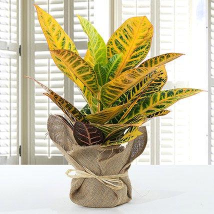 Codiaeum Petra Plant With Jute Wrapped Pot: Plants