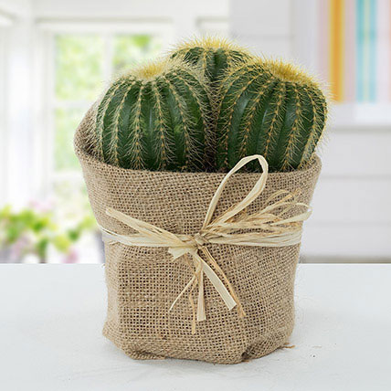 Echinocactus Grusonii Jute Wrapped Pot: Outdoor Plants