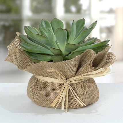 Green Echeveria Jute Wrapped Plant: