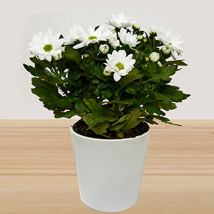 Online White Chrysanthemum Plant Gift Delivery In Saudi Arabia Ferns N Petals