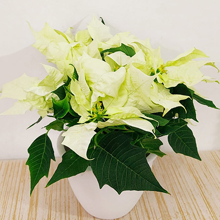 Online Poinsettia Plant In White Pot Gift Delivery In Saudi Arabia Ferns N Petals