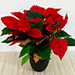 Red Poinsettia Plant In Black Pot